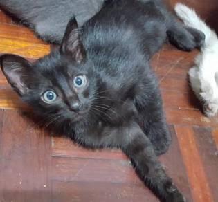 2 Black siam parsi kitten cat kucing betina