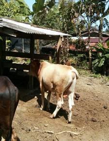 Lembu Limosin cukup umur