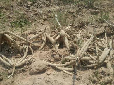 Ubi kayu skala besar