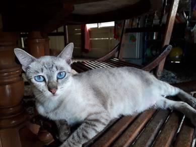 Kucing mata biru