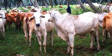 Lembu Jantan Brahman