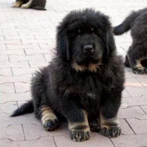 Tibetan Mastiff Giant Puppies
