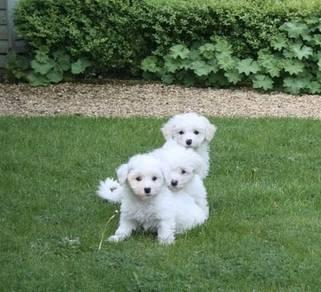 We got amazing Bihcon frise puppies