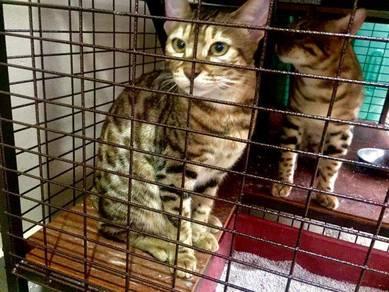 Kucing bengal cat 9 bulan rosette rosetted