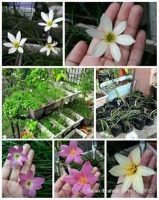 Anak pokok bunga rainlily pelbagai warna