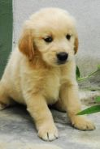 Pure breed golden retriever
