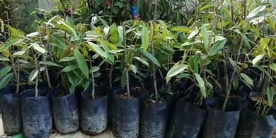 Anak Benih pokok Durian