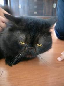 Kucing Hitam Jantan Umur 7bulan, Flat face, Sihat
