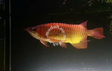 Arowana super.red