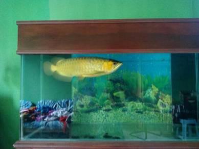 Certeficated arowana super red with aquarium