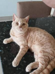 British Shorthair / BSH male cat for rehome