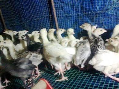Ayam belanda mutiara borong