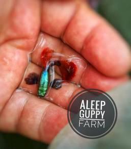 Redtail Dumbo Guppy