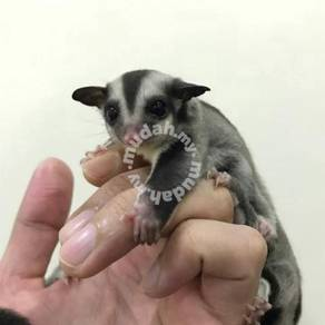 Sugar Glider (Free Travel Bag)