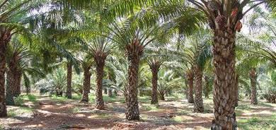 Oil palm Land For Sales Beruas , Perak