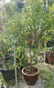 Pokok Limau Kam Keat