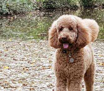 Miniature poodle adult