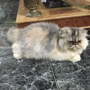 Kucing persian flatface gebu
