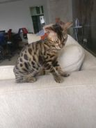 Adorable Bengal kitten male 6 months old