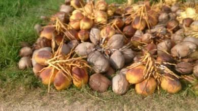Kelapa matag kuning kelapa mudah