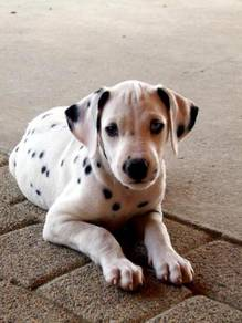 High quality dalmatian >>cny promo 18