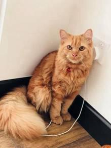 Tabby Orange Lion Kitten