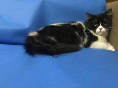 Kucing jantan 7 bulan hitam putih