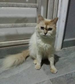 Kucing Betina Murah2 Je