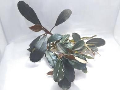 Aquatic plants (. bucep mix sp n crypto mix sp )