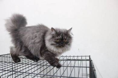 Kucing parsi (harga boleh dirunding)