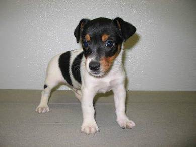 Jack russell on sale >> cny promo 18