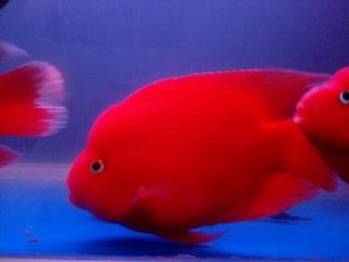 Red parrot fish to let go