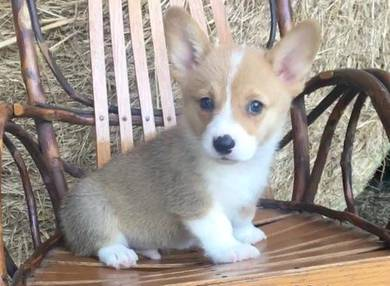 Male Pembroke Welsh Corgi