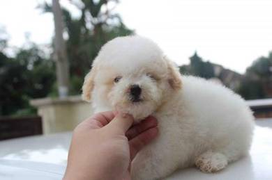 Toy poodle on sale >>cny promo 18