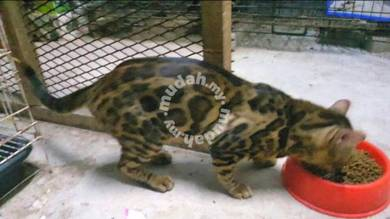 Rosetted Male Bengal