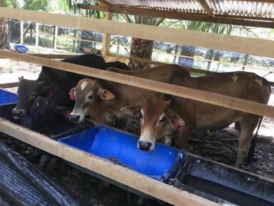 Lembu jantan untuk korban 2018