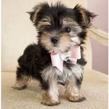 Adorable morkie on sale >>cny promo 18