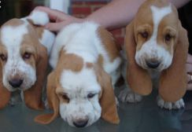 High quality basset hound >>cny promo 18