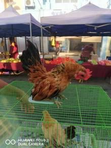 Ayam serama baka kecik