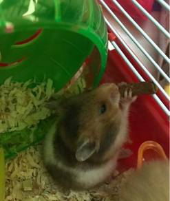 Hamster (jantan)