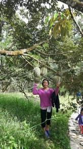 Pokok MusangKing
