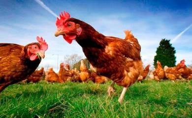 Ayam Kampung Organic Grass Fed