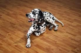 Dalmatian pup >>cny sale 18