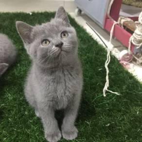 British short hair kitten male