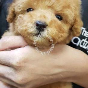 Tiny toy poodle 21/2