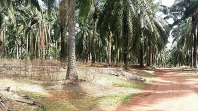 Flat land at Linggi Negeri Sembilan, oil palm tree