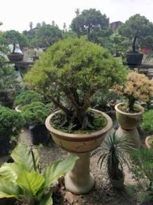 Pokok hiasan