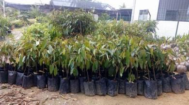 Benih Durian Bantal Mas/ Monthong