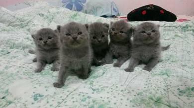 Kucing kitten BSH