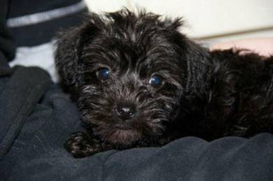 Poodle black pure breed